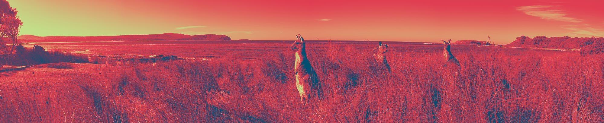 3 Kangoeroes op de uitkijk in hoog gras bij water, bewerkt in de Kangaroo huisstijlkleuren